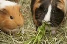 La mutuelle pour animaux s'adapte aux rongeurs