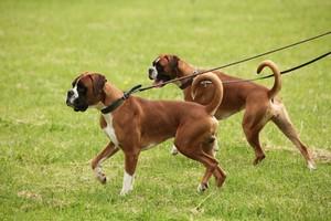 Assurance animaux : les règles essentielles pour les chiens dangereux