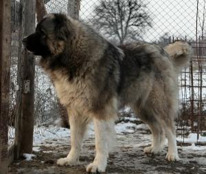 Choisir un Berger du Caucase
