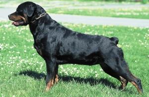 Le cas du Rottweiler en France
