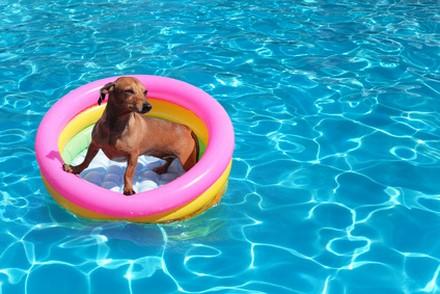 Votre piscine représente un danger pour votre animal