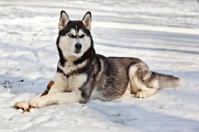 Les Huskies abandonnés à cause de Game of Thrones !