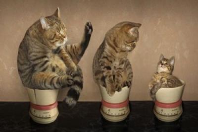Les chats heureux de maigrir !