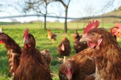 Les poules ont une maison de retraite !